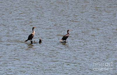 Double-crested Cormorant Art Print by Jack R Brock