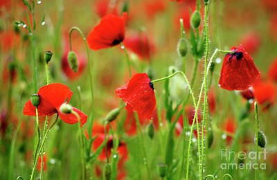 Field Of Poppies. Print by Bernard Jaubert
