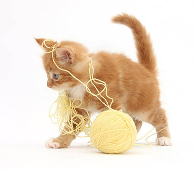 Photograph - Ginger Kitten by Mark Taylor