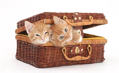 Baby In Basket Photograph - Kittens by Mark Taylor