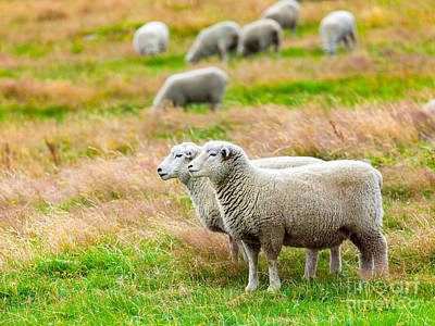 Lambing Photograph - Sheeps by MotHaiBaPhoto Prints