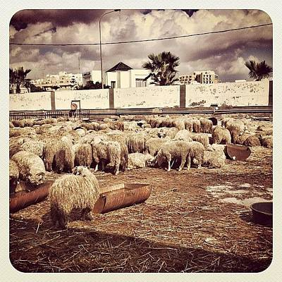 Sheep Photograph - #allshots#instagramers #instamood by Styledeouf ®