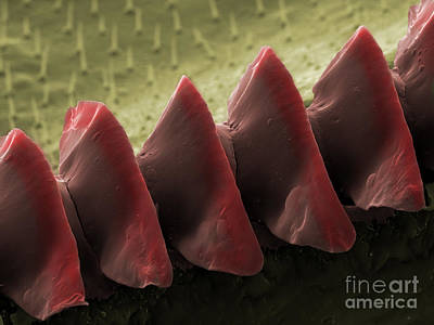 Photograph - Cricket Sound Comb, Sem by Ted Kinsman