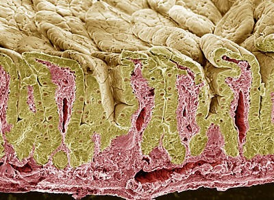 Intestinal Lining, Sem Art Print by Steve Gschmeissner