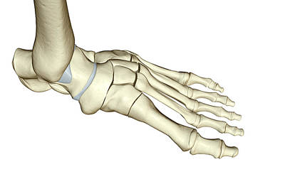 Human Joint Digital Art - The Bones Of The Foot by MedicalRF.com