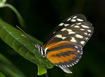 Photograph - Tiger Longwing Butterfly by JT Lewis