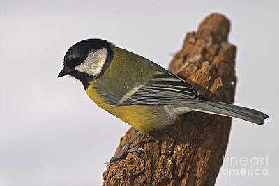 Sweating Photograph - Tit by Odon Czintos