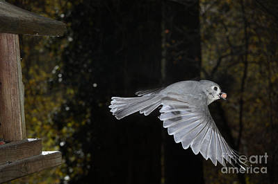 Parus Bicolor Photograph - Tufted Titmouse In Flight by Ted Kinsman
