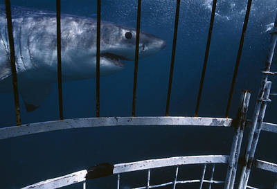 Cage Diving Photograph - Great White Shark by Alexis Rosenfeld