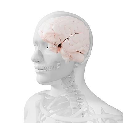 Head Anatomy, Artwork Art Print by Sciepro