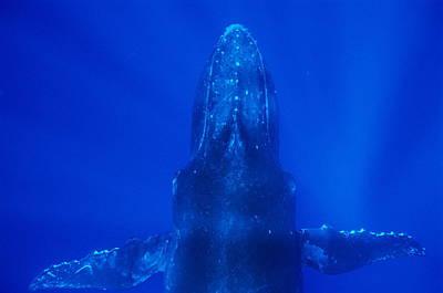 Rurutu Photograph - Humpback Whale by Alexis Rosenfeld