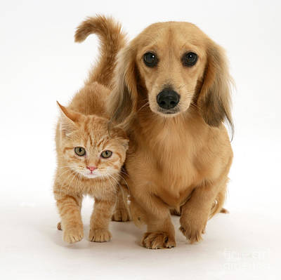 Dachshund Puppy Photograph - Kitten And Puppy by Jane Burton