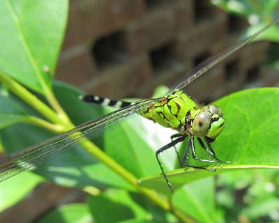 Dragonfly Art Print by Michele Caporaso
