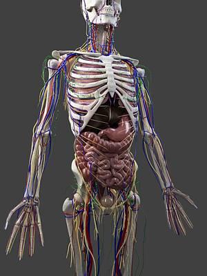 Human Anatomy, Artwork Art Print by Sciepro