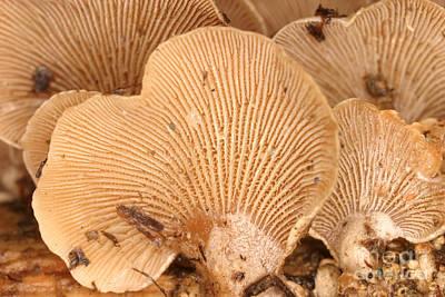 - Luminescent Mushroom Panellus Stipticus by Ted Kinsman