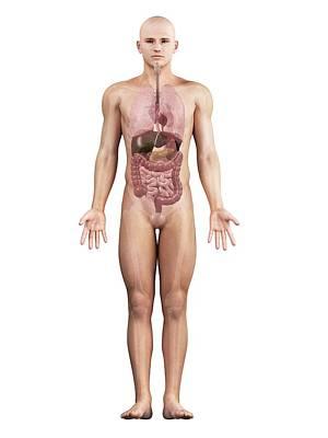 Male Anatomy, Artwork Art Print