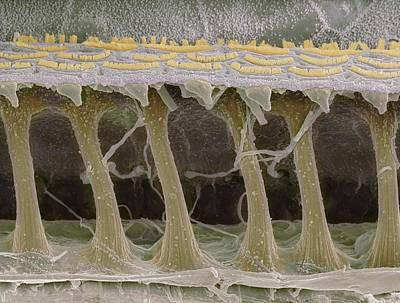 Inner Ear Hair Cells, Sem Art Print by Steve Gschmeissner