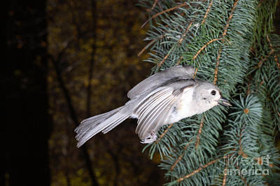 Tufted Titmouse In Flight Print by Ted Kinsman