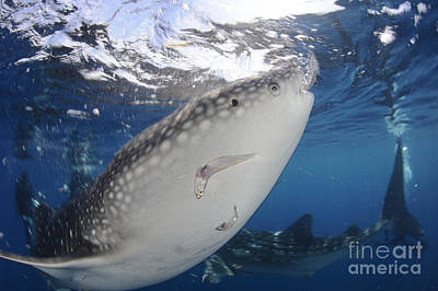 Personalized Name License Plates - Whale Shark Feeding Under Fishing by Steve Jones