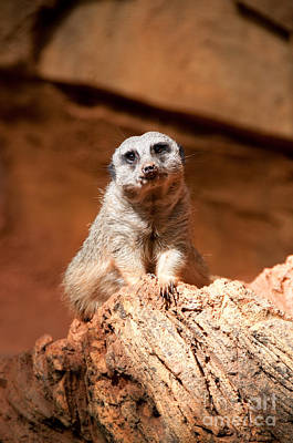 Meerkat Digital Art - Lincoln Park Zoo In Chicago by Carol Ailles