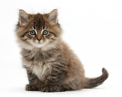 Coon Cat Photograph - Maine Coon Kitten by Mark Taylor