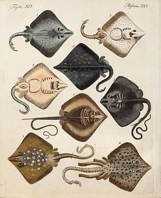 Childrens Books Photograph - 1795 Decorative Marine Rays Illustration by Paul D Stewart