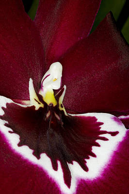 Photograph - Exotic Orchid Flowers Of C Ribet by C Ribet