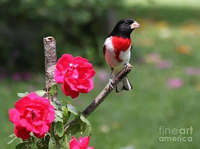 Photograph - Rose-breasted Grosbeak by Jack R Brock