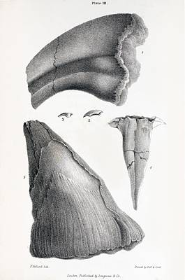 1833 Iguanodon Mistaken Spike Horn Fossil Art Print by Paul D Stewart