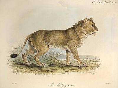 1835 Maneless Indian Lion By Edward Lear Art Print