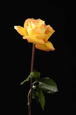 Rosaceae Photograph - A Peach-colored Rose Rosaceae by Joel Sartore