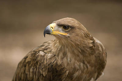 A Tawny Eagle At A Wild Bird Sanctuary Art Print by Joel Sartore