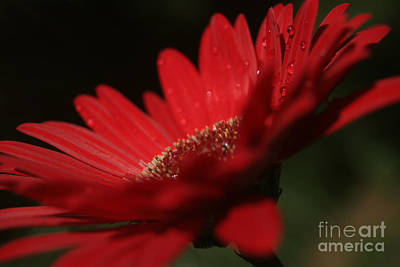 Gerbera Daisy Digital Art - A Vision Of Beauty by Sharon Mau