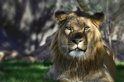 Photograph - African Lion  by Saija  Lehtonen