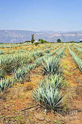 Photograph - Agave Cactus Field In Mexico by Elena Elisseeva