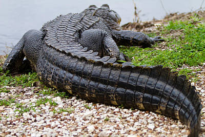 Photograph - Alligator by Jason Smith