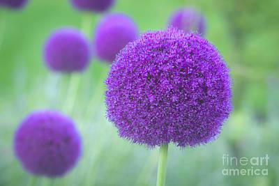 Allium Hollandicum Art Print
