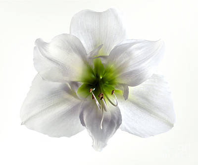 Amaryllis Art Print by Jane Rix