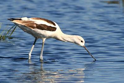 Photograph - American Avocet by Ira Runyan