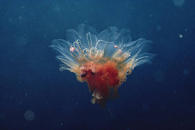Photograph - Arctic Jellyfish Off Baffin Island by Flip Nicklin