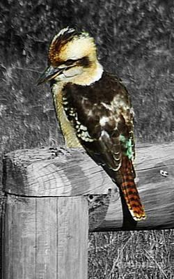 Kingfisher Digital Art - Australian Kookaburra by Blair Stuart
