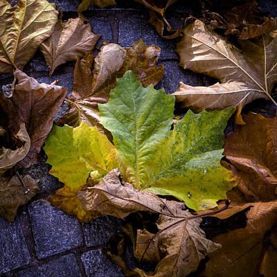 Plane Tree Photograph - Autumn Leaves by Joana Kruse