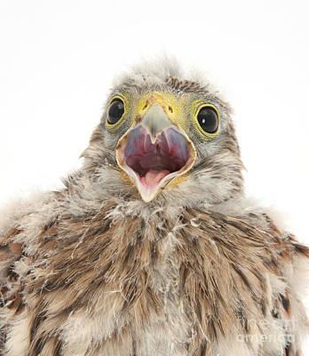 Falcon Photograph - Baby Kestrel by Mark Taylor