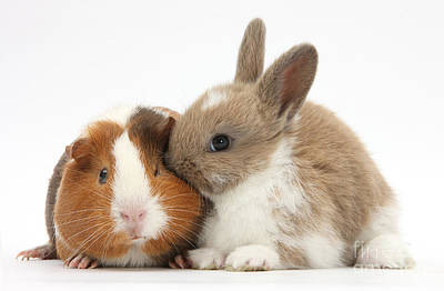 Cavy Photograph - Baby Rabbit And Guinea Pig by Mark Taylor