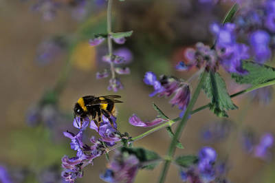 Art Print featuring the photograph Bee by David Gleeson