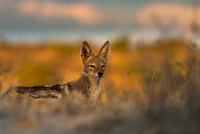 National Park Photograph - Black-backed Jackal by Hein Welman