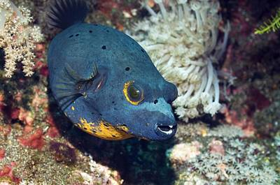Blackspotted Photograph - Blackspotted Puffer by Georgette Douwma