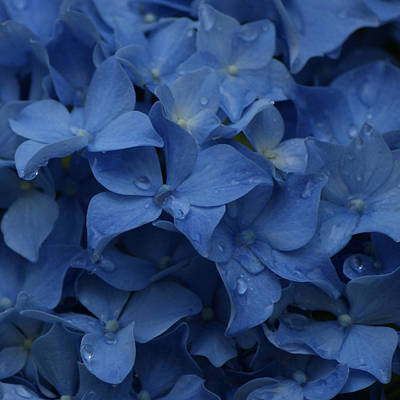 Photograph - Blue Dew by Jen Baptist