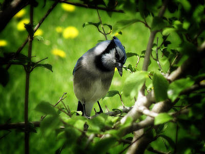 Photograph - Blue Jay by Scott Hovind