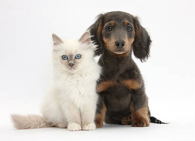 House Pet Photograph - Blue-point Kitten & Dachshund by Mark Taylor